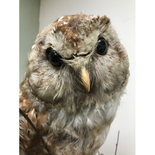 16 - Antique taxidermy owl...