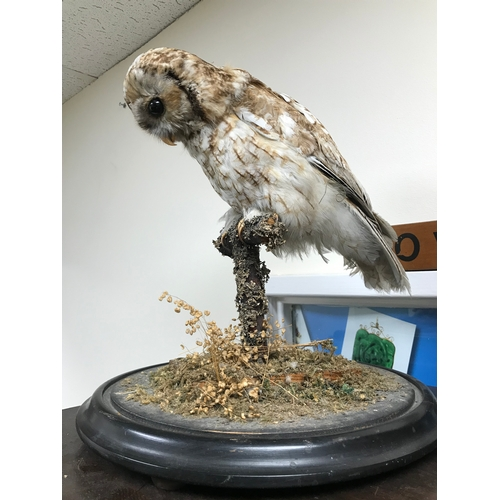 17 - Antique taxidermy owl...