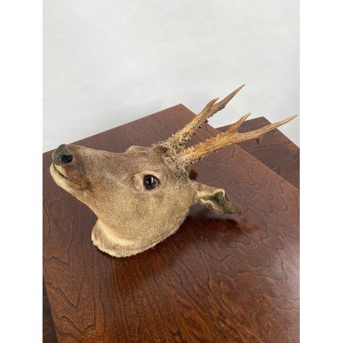 120 - An antique taxidermy deer buck head....