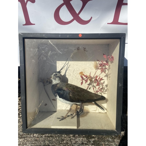 20 - Taxidermy lapwing bird in case [38x18cm]