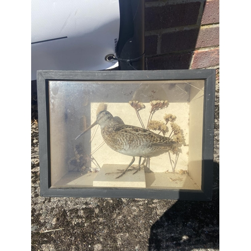 21 - Taxidermy Snipe bird in case [23x31x13cm]