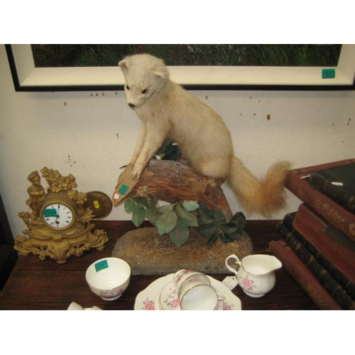 350 - Taxidermy of a Pine Martin...