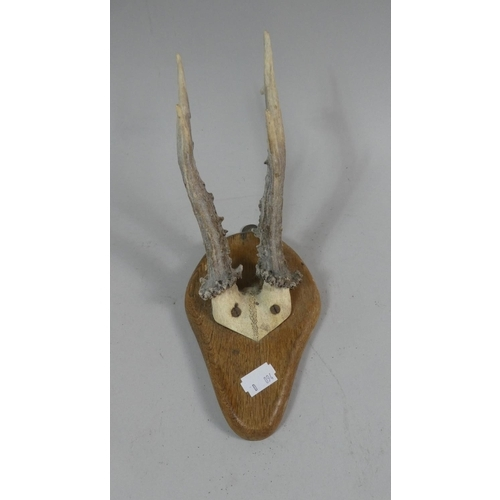 7 - A Mounted Stag Trophy Antler on Wooden Plinth, 18cm High...