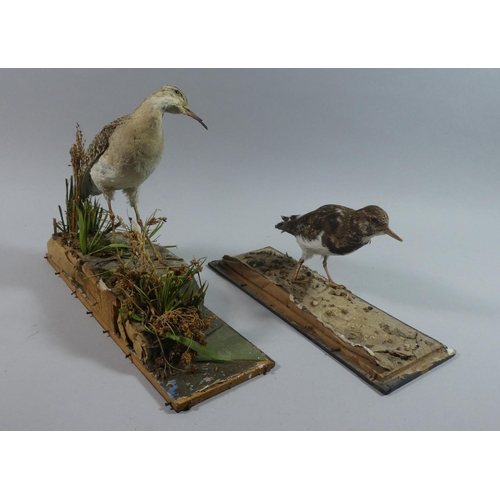 49 - Two Taxidermy Studies of Wading Birds,...