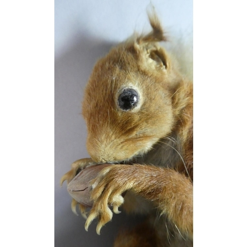 36 - A Taxidermy Study of a Red Squirrel...