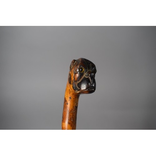 12 - A Victorian Carved Thorn Wood Walking Cane with Bull Dog Handle Having Glass Eyes, 86cms Long...