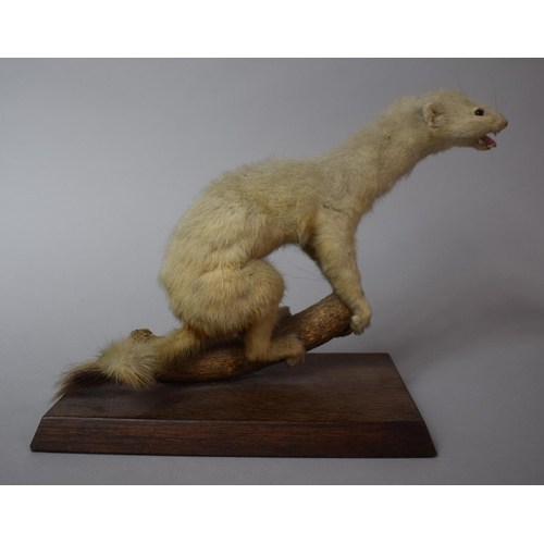 47 - An Early 20th Century Taxidermy Study of a Stoat...