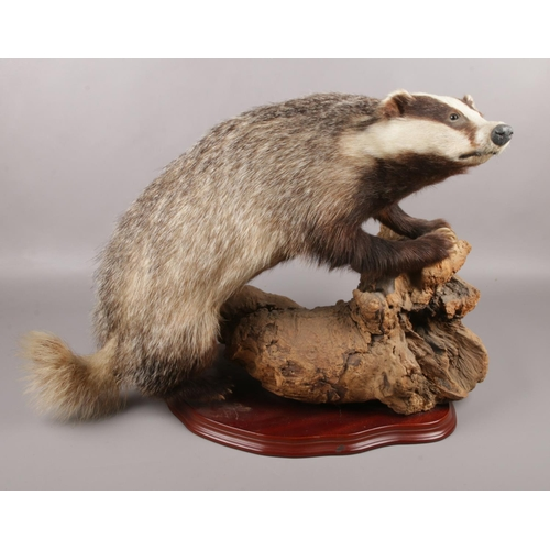 22 - A taxidermy study of a Badger raised on piece of wood. (46cm x 60cm)...