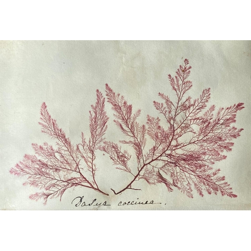 10 - Irish Botanical: Gaisford (Teresa)Howth Sea Weeds, An important Album of 84 examples of Irish Sea W...