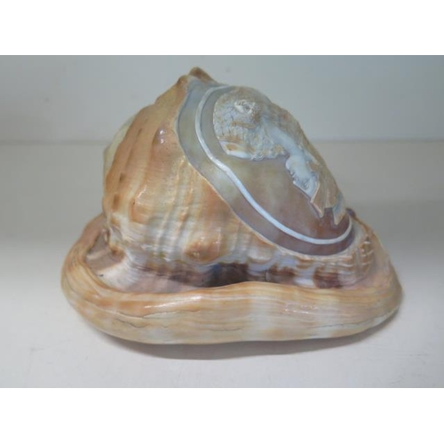 307 - A carved cameo conch shell with classical design, 16.5cm long, generally good condition