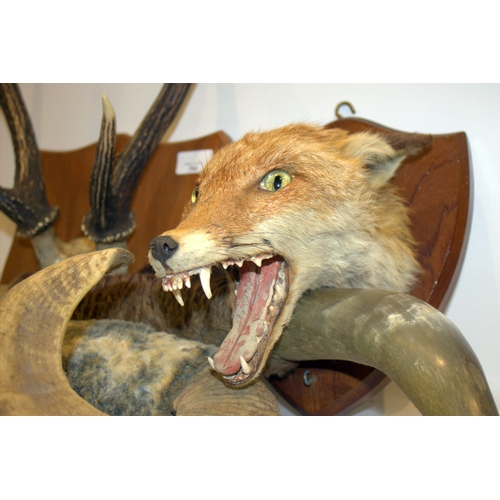 783 - Taxidermy Interest, To Include A Foxes Head On Trophy Board Together With Three Mounted Horns...