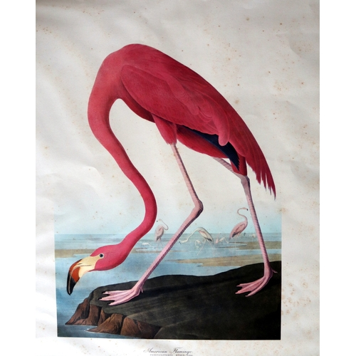 375 - James Audubon American Flamingo. Phoenicopterus Ruber, Linn. Old Male. Slight Foxing. 17 x 14 Inches...