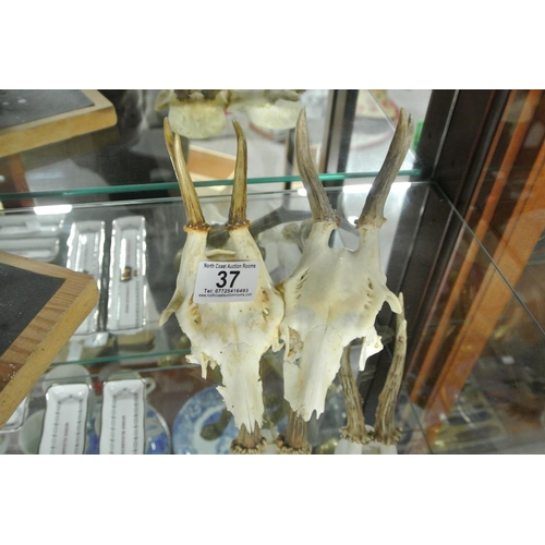 37 - A pair of small deer skulls....