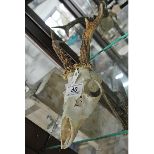 40 - A partial deer skull with horns....