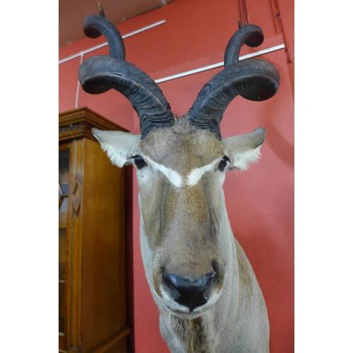 53 - A large taxidermy African kudu adult bull head and shoulder mount, 163cms h...