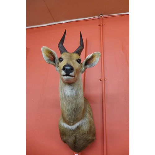 54 - A taxidermy African antelope head and shoulder mount, 76cms h...