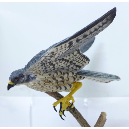 604 - A Border Fine Arts Flying Peregrine, Birds by Russell Willis, A1276, 33cm...