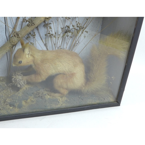 303 - A late 19th century taxidermy of a scurry of red squirrels in glazed display case, featuring two adu...