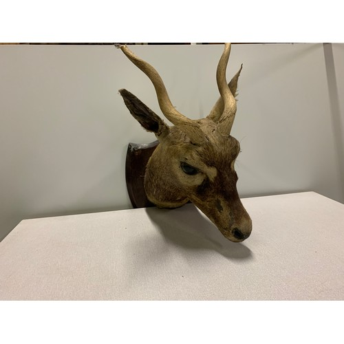 23 - 1928 mounted taxidermy head from Fatehpur Sikri India. See pics....