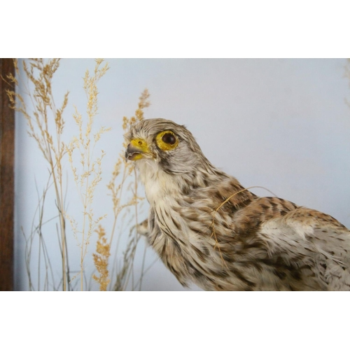 40 - Taxidermy Bird of Prey in a Naturalistic Setting contained in a Display Case, 48cms high...