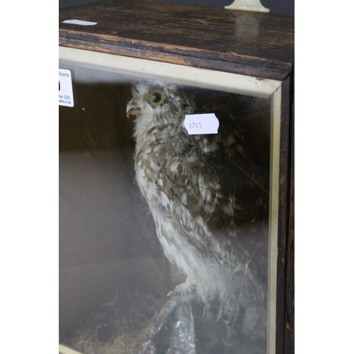 49 - A antique taxidermy Little Owl mounted in a pine glazed case....