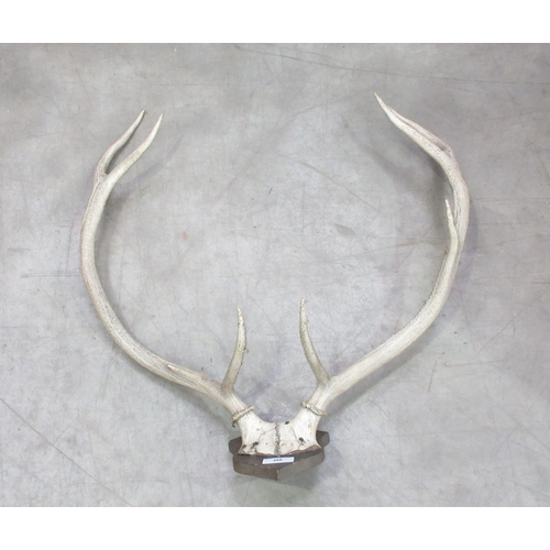488 - A set of eight point Red Deer Antlers on shield 2ft 2in W...