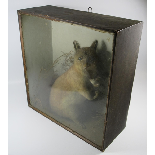 150 - TAXIDERMY-VICTORIAN MODEL OF A POSSUM, STUFFED AND MOUNTED IN A GLAZED WOOD CASE (44 X 42 CM)...