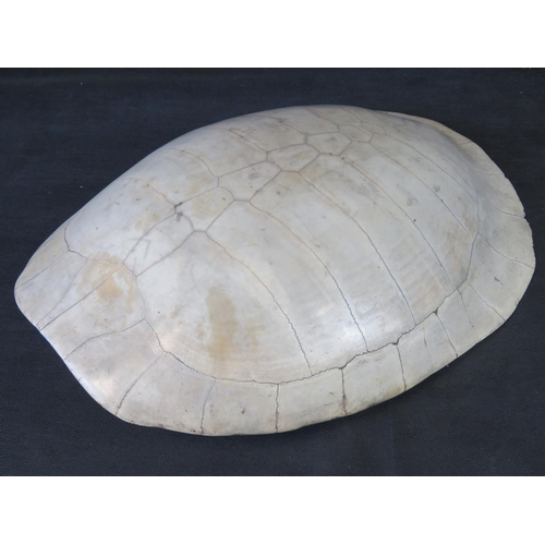 83 - Of taxidermy interest, a high quality, circa 1890 White or 'BLONDE' turtle Carapace (Arrau turtle ak...