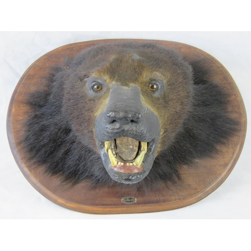 84 - A Theobald Brothers taxidermy of a bear's head on wooden mount; protruding length 36cm; with a label...