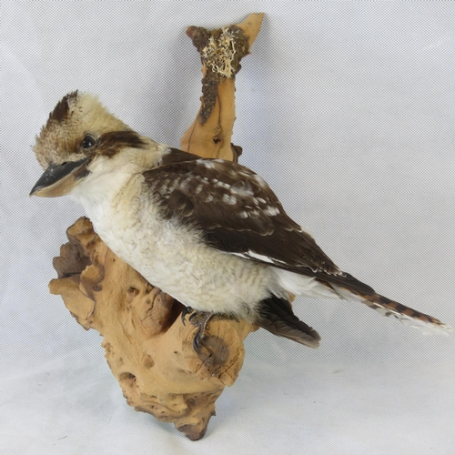 85 - A vintage taxidermy Kookaburra perched upon a branch; overall height 36cm high; an uncased wall hang...