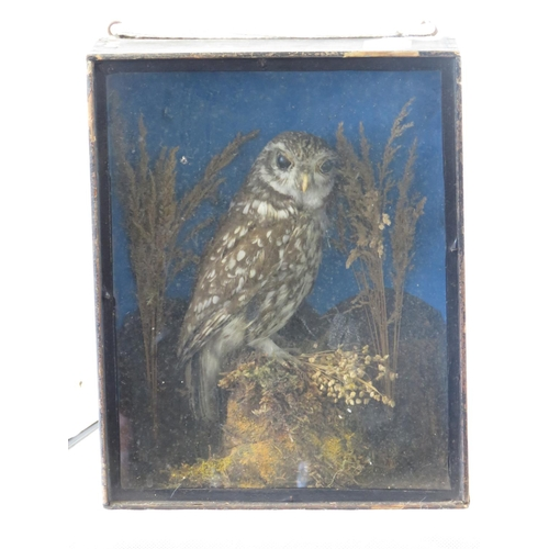 124 - A vintage taxidermy of a small owl perched upon bracken, cased, overall 31.5cm x 25.5cm....