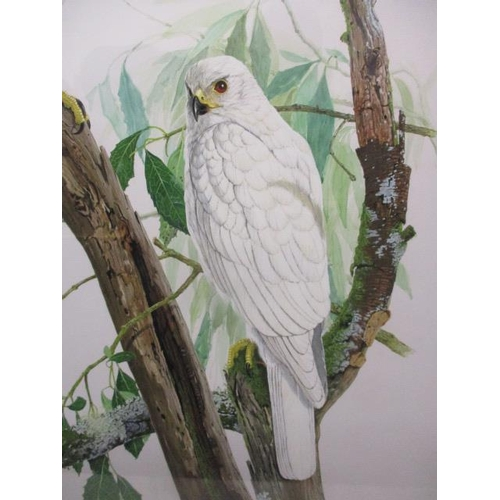 261 - Frank Morris - 'Grey and White Goshawks', watercolour, signed and dated '71 lower right, 37