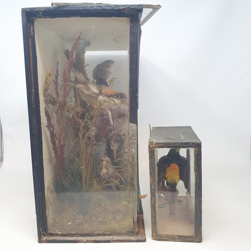 86 - Taxidermy: a Paradise Tanager, in glass case, 15 x 16 cm, five birds, in glass case, with damages, a...