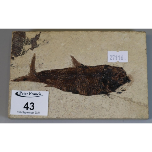 43 - Natural stone tablet with fossilised fish. 14.5cm long. (B.P. 21% + VAT)