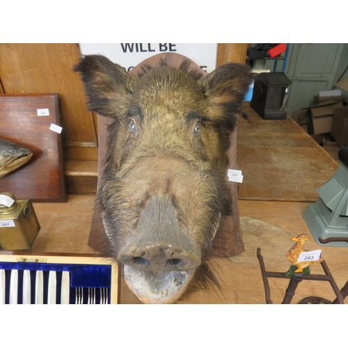 Large Oak Mounted example of a Taxidermy Boar's head