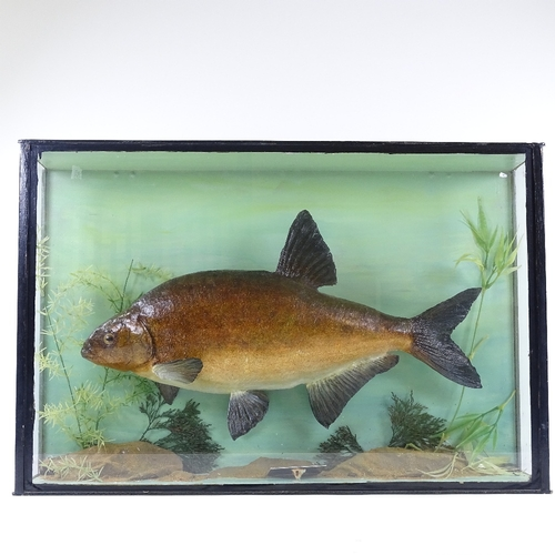 23 - TAXIDERMY - a bream 6lb 7oz September 1962 in glazed case, 70cm x 46cm...