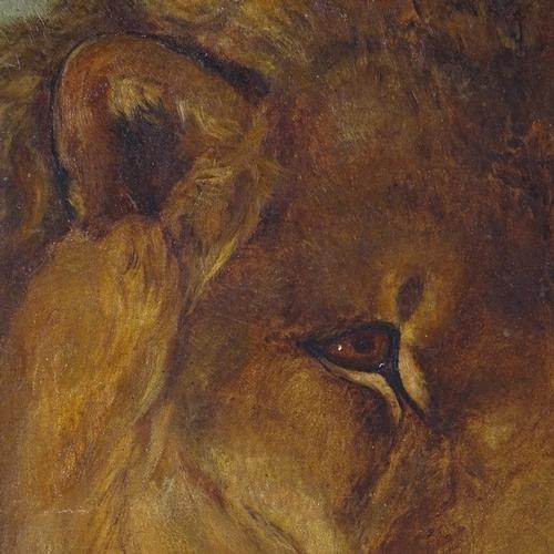 1087 - Harry Hamilton Johnston, oil on canvas, lion, signed with monogram, 24