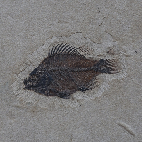 14 - A large 50 million year old Eocene-era Priscacara liops fossilised fish stone panel, from the Green ...