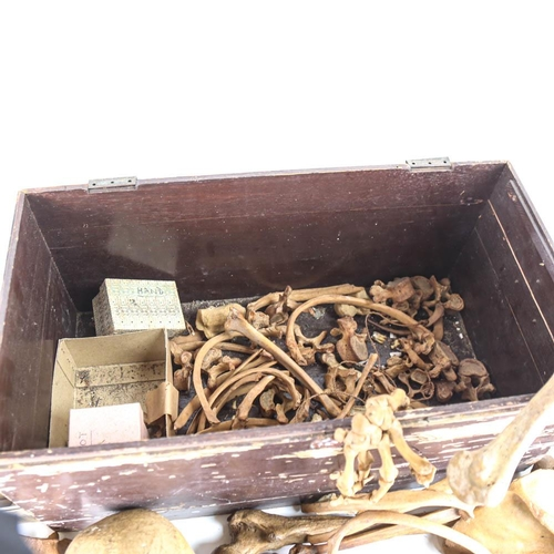 1 - ANATOMY - a human skull and part skeleton, including vertebrae, hands etc, in painted pine case