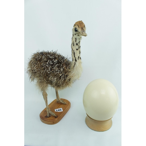 145 - Baby Ostrich Taxidermy and a Ostrich Egg...