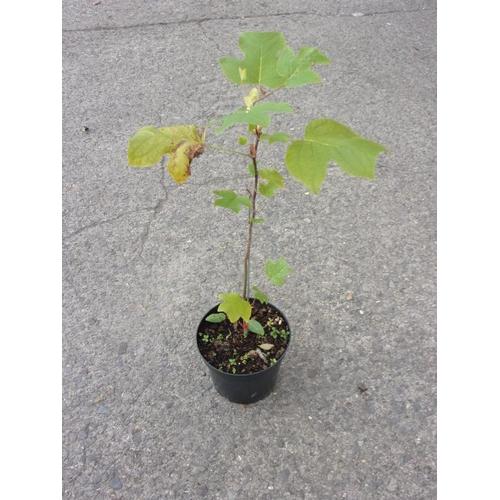 20B - Liquid Amber - small tree...