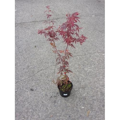 20C - Acer Palmatum...