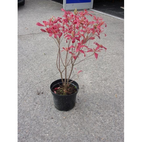 20E - Azalea Luteum - yellow and scented...