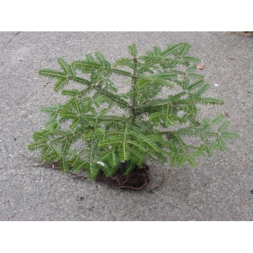 20M - Christmas tree - Nordmann Fir (non-dropping needles)...