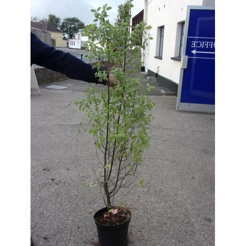 20N - Pittosporum - evergreen...