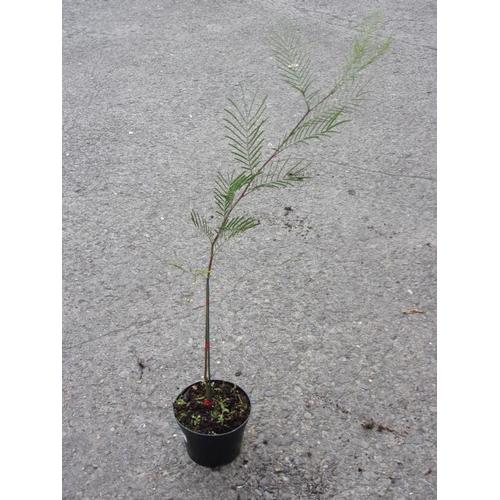 20S - Mimosa Acasia...