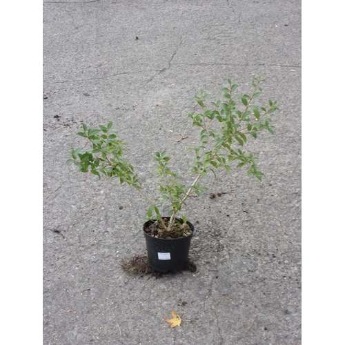 20T - Osmanthus - white scented flowers - evergreen...