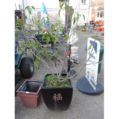 58 - Oriental Style Ceramic Garden Planter and Contents - Shrub...
