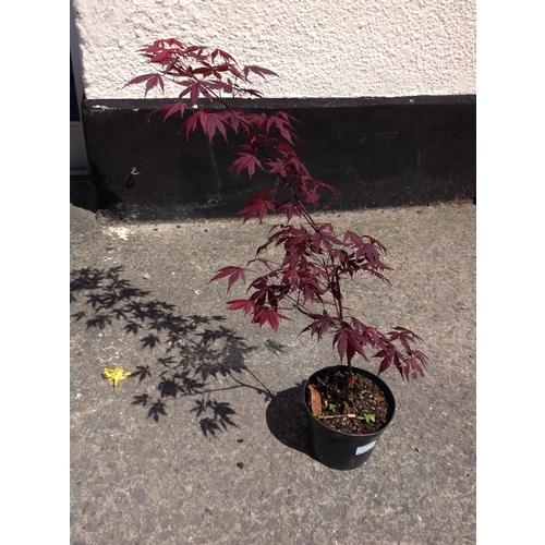 12c - Acer Palmatum - Red Leaf...