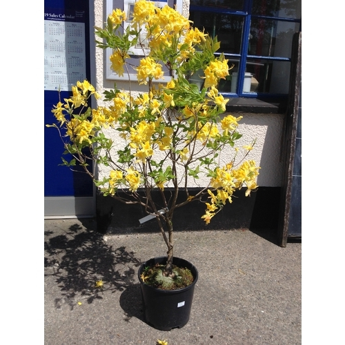 12g - Azalea Exbury - Yellow (Large)...